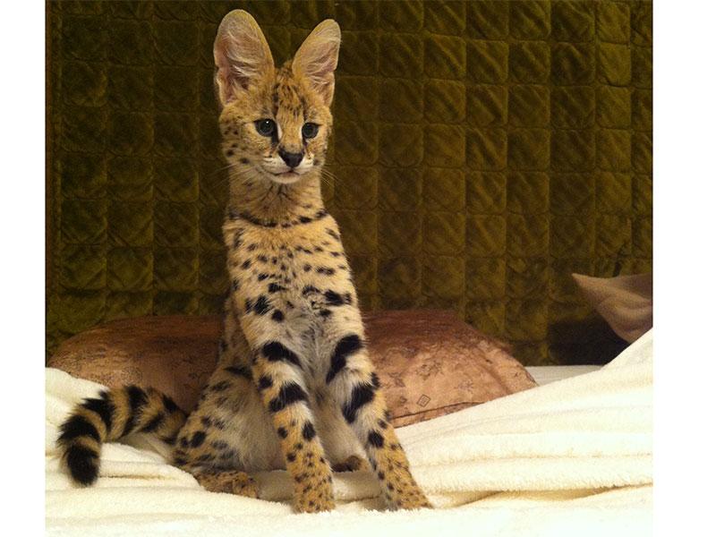 african-feline-cubs
